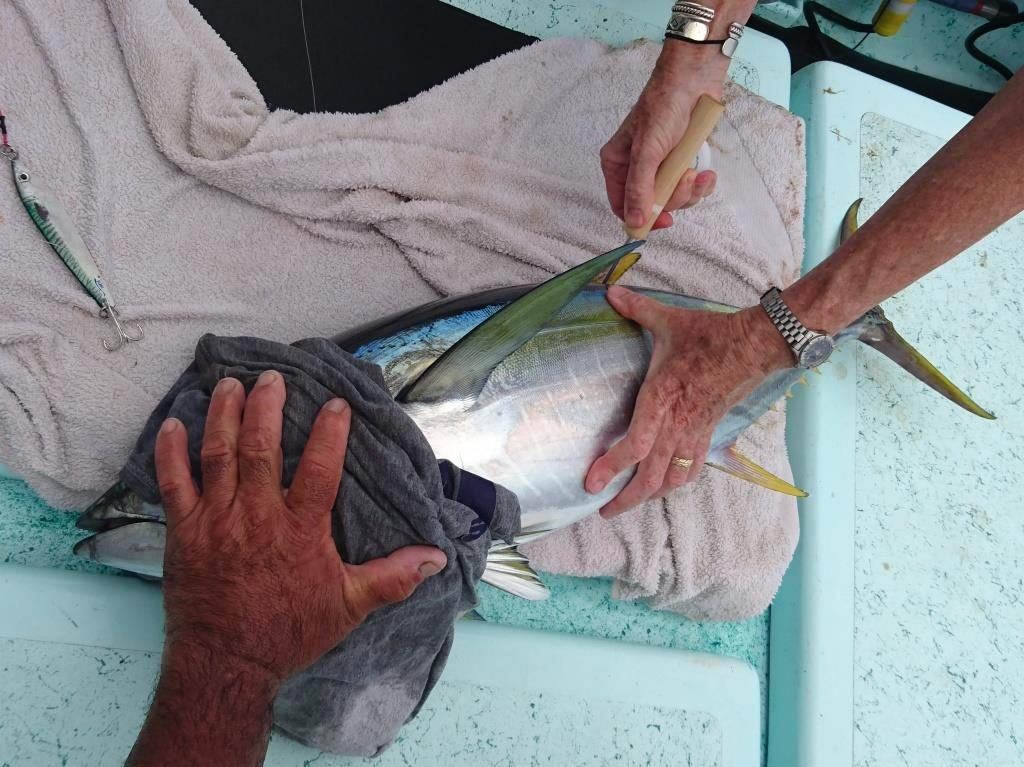 tagging the yellowfin